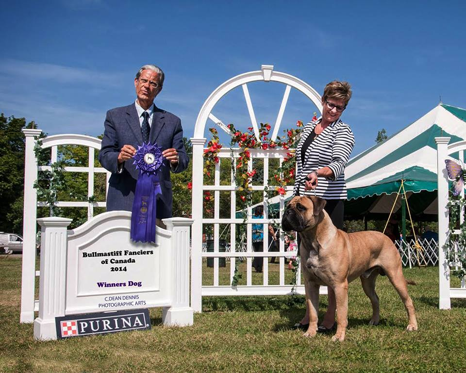 Sam, Am. Ch. Bramstoke's Sugar Daddy. Winners Dog Bullmastiff Fanciers of Canada Specialty