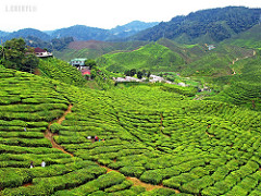 Tea farm, by Cheryl