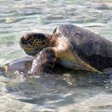 A Little Sea Turtle Action