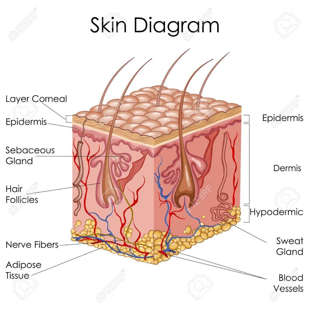 hight resolution of skin diagram cross section for scalp