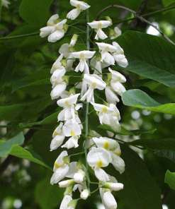 Cladrastris kentuckea, 'American Yellowwood'