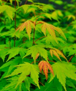 Acer palmatum, 'Green Japanese Maple'