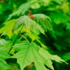 Acer sacharum, 'Sugar Maple'