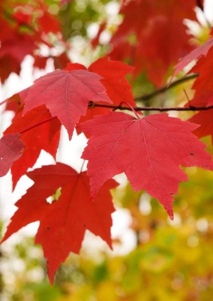 Acer rubrum x freemanii, 'Autumn Blaze Maple'