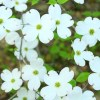 Cornus florida, 'Flowering Dogwood'