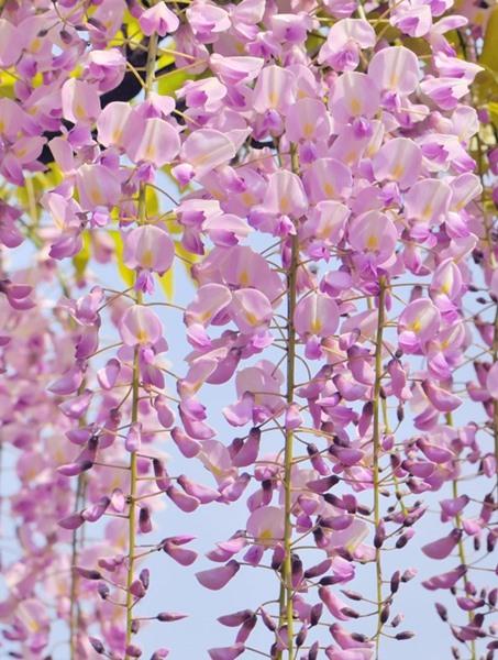 Wisteria Macrostachya Pink Flowering Wisteria Brandywine Trees