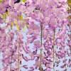 Wisteria macrostachya, 'Pink Flowering Wisteria'