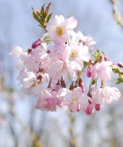Prunus subhirtella, 'Autumnalis'