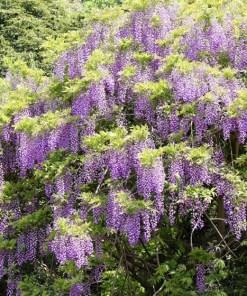 Wisteria macrostachya, 'Blue Flowering Wisteria'