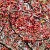 Crataegus_viridis_Winter_King