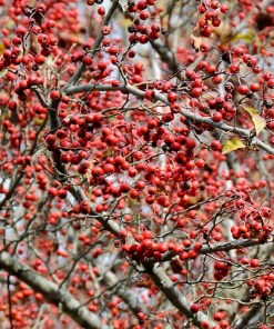 Crataegus_viridis_Winter_King
