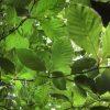 Fagus sylvatica, 'European Beech'