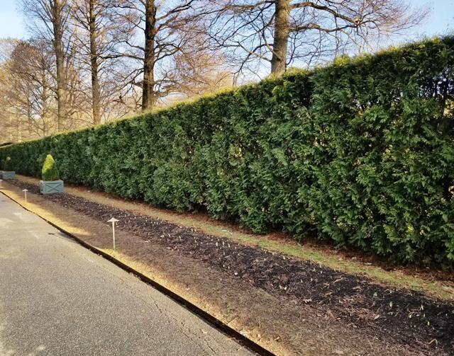 Thuja plicata hedge