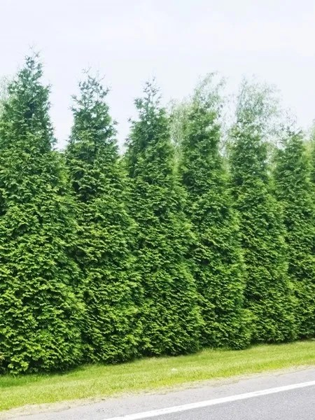 Thuja plicata 'Green Giant Arborviate'