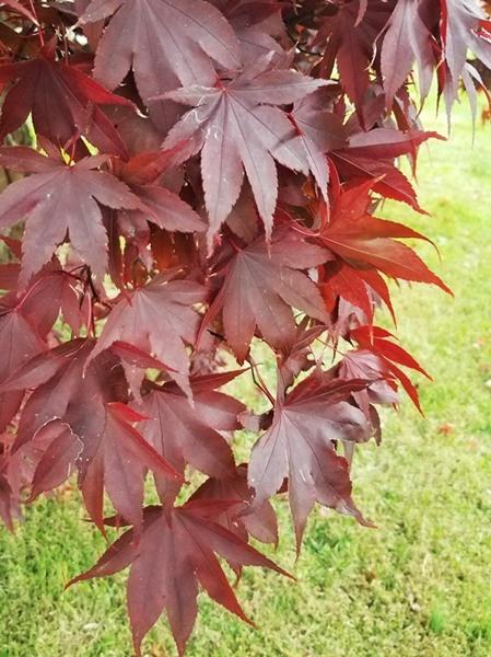 Acer Palmatum Japanese Bloodgood Maple Brandywine Trees
