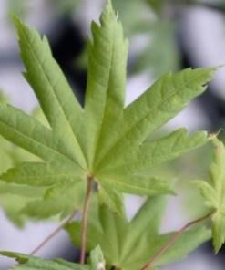 Acer pseudoboldianum