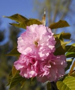 Prunus serrulata, 'Kwanzan Cherry'