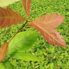 Quercus ellipsoidalis, 'Northern Pin Oak'