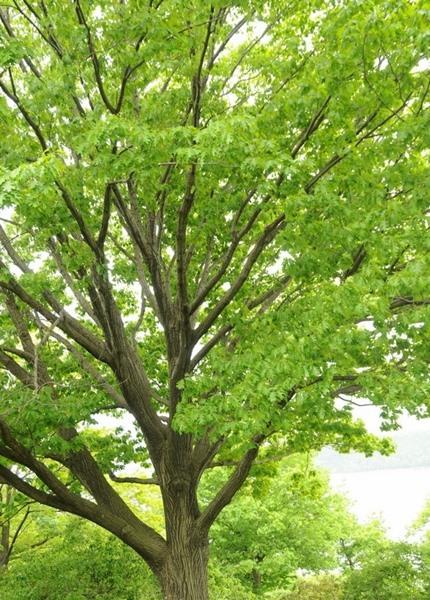 Quercus rubra, 'Northern Red Oak'