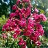 Lagerstroemia Crape Myrtle, 'Pink Velour'