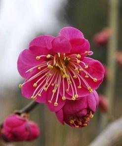 Prunus mume 'Kobai'