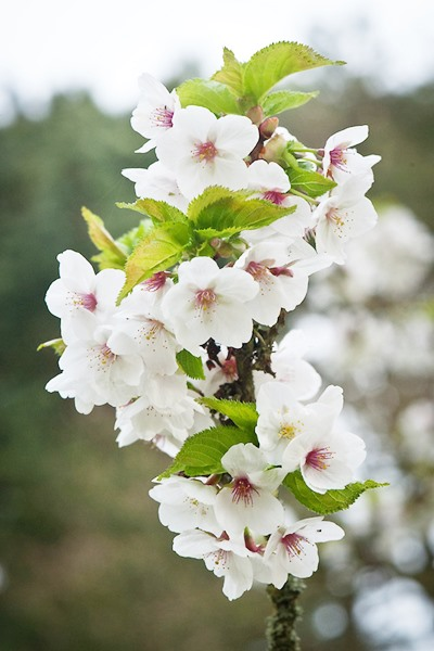 Prunus serrulata 'Snow Goose'