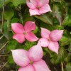 Cornus nuttallii, 'Rosy Teacups Dogwood'