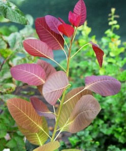 Cotinus coggygria, 'Grace Smoke Tree'