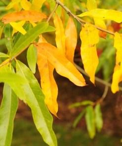 Quercus phellos, 'Willow Oak'