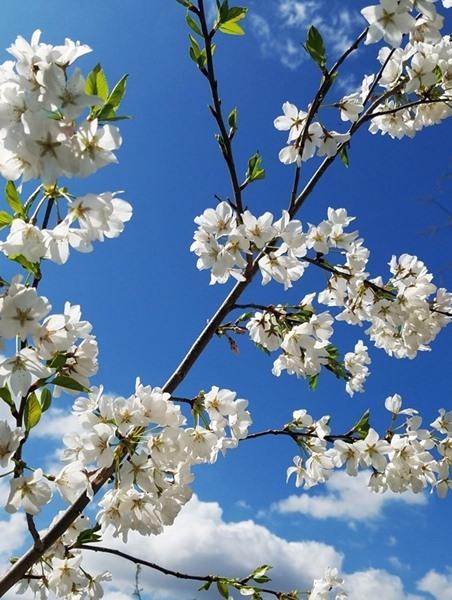 Prunus x yedoensis, 'Yoshino Cherry'