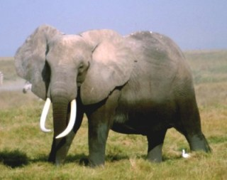 elefante_01