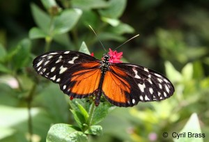 ORANGE and BLACK HELICONIUS BUTTERFLY, Heliconius Hecale Zuleika