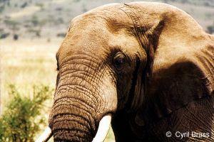 African-Elephant-11.jpg