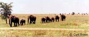 African-Elephants-following-in-line-01.jpg