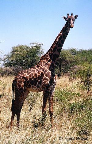 Giraffe-in-Serengeti-01.jpg