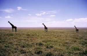 Giraffes-on-Seregeti.jpg