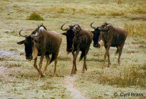 Three-Wildebeest-03.jpg