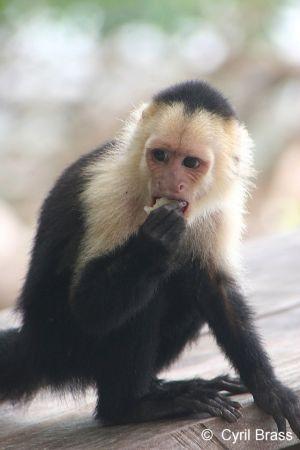 White-Faced-Capuchin-Monkey-1363.jpg