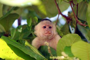 White-Faced-Capuchin-Monkey-317.jpg
