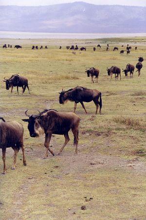 Wildebeests-01.jpg