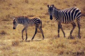 Zebra-with-baby.jpg