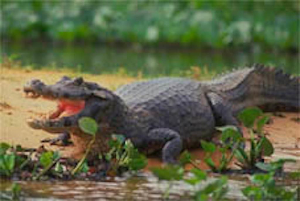 aligator at Pantanal Mato Grosso do Sul Brazil www.brazilfilms a film production services