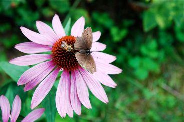 Wespe jagt Schmetterling