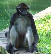 long-haired spider monkey ateles