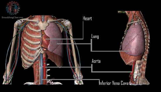 Ammo stopping power vs anatomy Cowan Breach Bang Clear chest vitals 1
