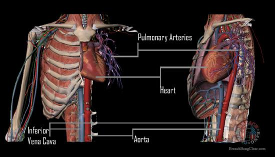 Ammo stopping power vs anatomy Cowan Breach Bang Clear chest vitals 2