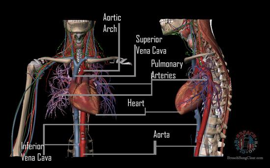 Ammo stopping power vs anatomy Cowan Breach Bang Clear chest vitals 3