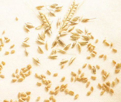 Ancient Grain Einkorn Seed Heads and Grains