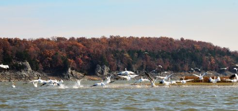 White Pelicans on Harry S Truman Lake at Bucksaw. Copyright © 2011 Gary Allman, all rights reserved.