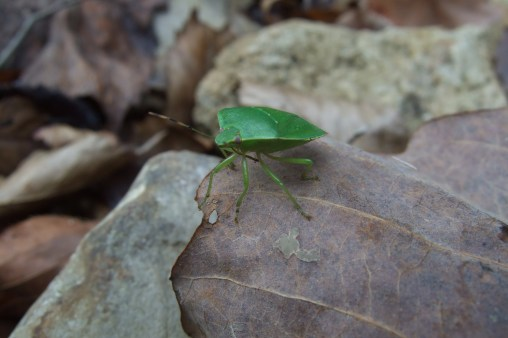 Green Stink Bug. Copyright © 2010 Gary Allman, all rights reserved.